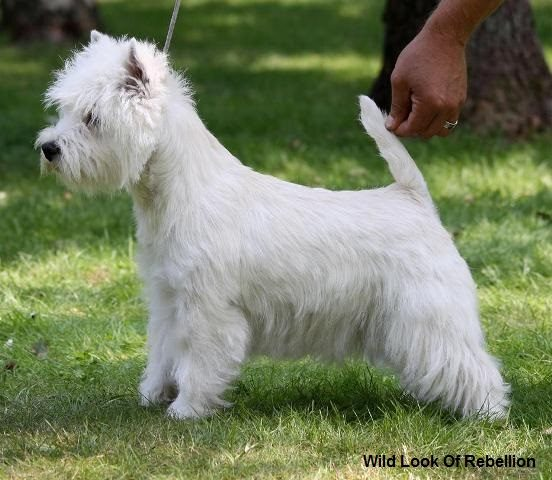 westie female jackie