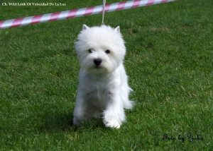 westie male willy