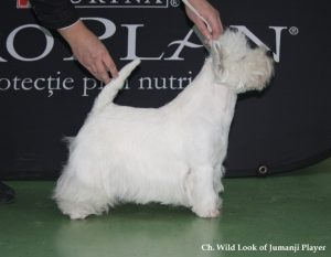 westie male indy