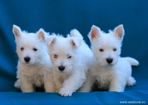 westie puppies 6 weeks